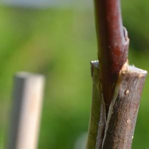 Greffage des arbres fruitiers